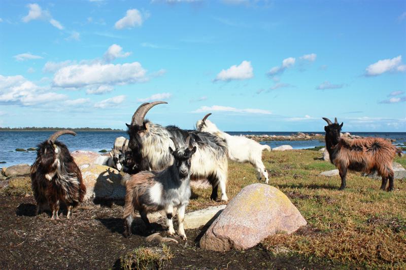 Bockarna på ön_liten2